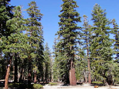 Mammoth Lakes  |  Red fir forest
