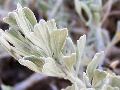 Mammoth Lakes  |  Sage brush