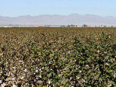 Imperial Valley  |  Cotton cultivation