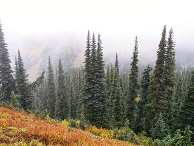 Olympic NP  |  Subalpine fir