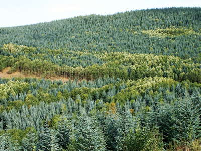 Cascade Range  |  Afforestation with Noble fir
