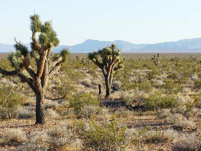 Pahrump Valley  |  Joshua trees