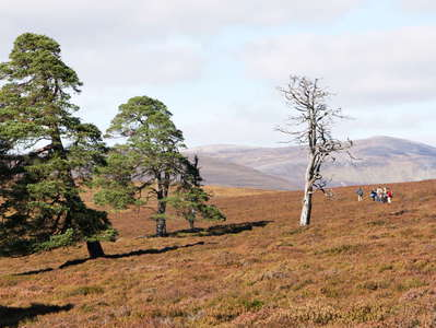 Cairngorms  |  Treeline area with heathland