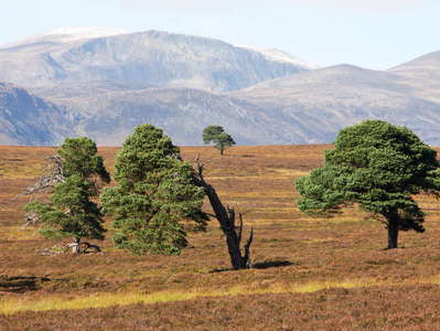 Cairngorms  |  Treeline area and Ben Macdui