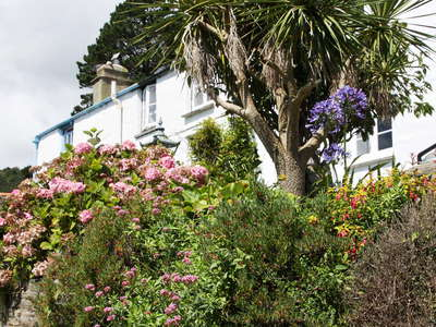 Polperro  |  Cabbage tree