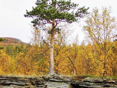 Skibotn  |  Pine tree