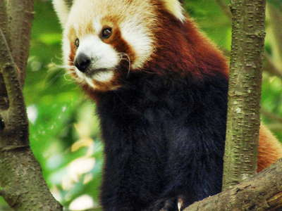Darjeeling Zoo  |  Red Panda