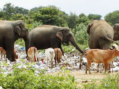 Polonnaruwa  |  Waste dump with animals