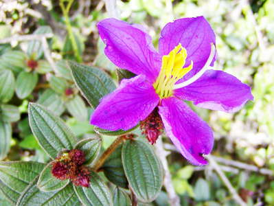 Horton Plains NP  |  Osbeckia walkeri