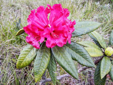 Horton Plains NP  |  Tree rhododendron