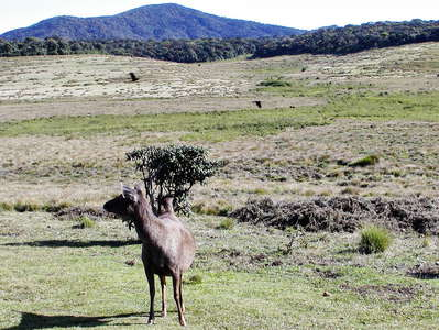 Horton Plains NP  |  Patana with sambar deer
