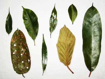 Sinharaja Forest Reserve  |  Rainforest leaves