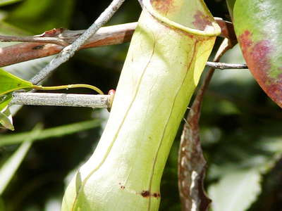 Sinharaja Forest Reserve  |  Pitcher plant
