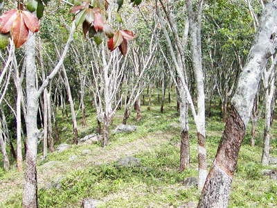 Gampaha  |  Rubber tree forest