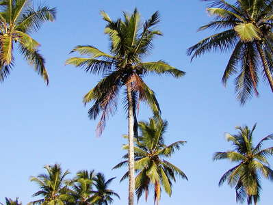Tangalle  |  Coconut palms