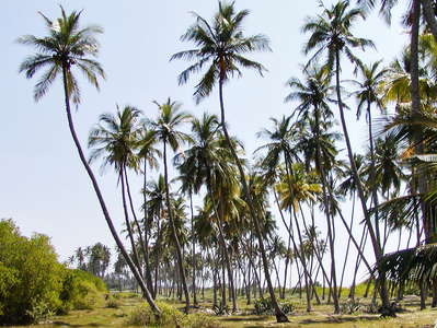 Tangalle  |  Coconut palm grove