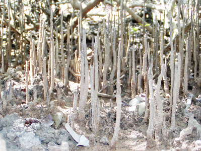 Negombo  |  Mangrove with respiration roots
