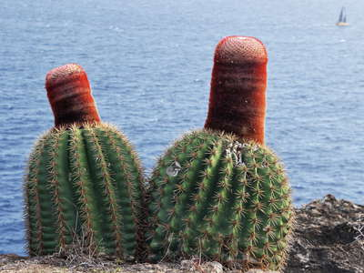 Southern coast | Flowering cacti