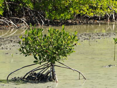Les Salines | Small mangrove with prop roots
